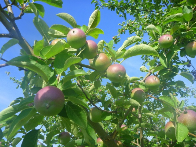Early apples.