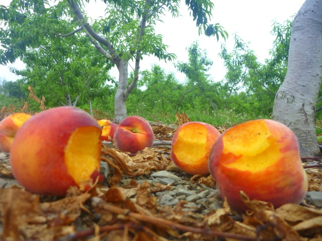 Everybody cries when peach season is over.  (So please don't do THIS!)